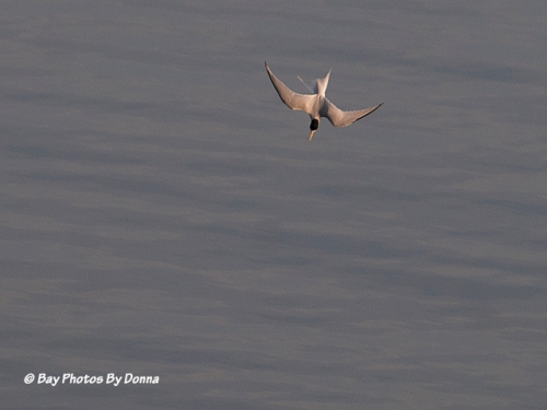 Least Tern diving for a fish