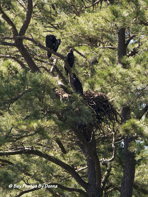 Three Eaglets