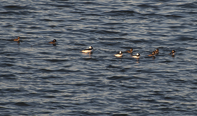 Buffleheads - male and female