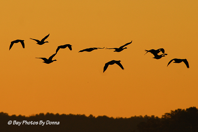 Canada Geese flying into the sunset