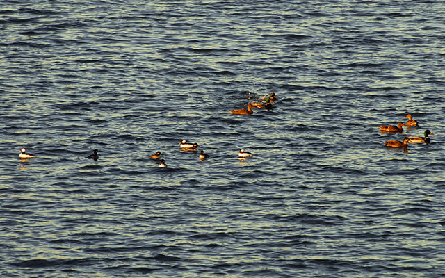 Buffleheads mixing in with Mallard Ducks