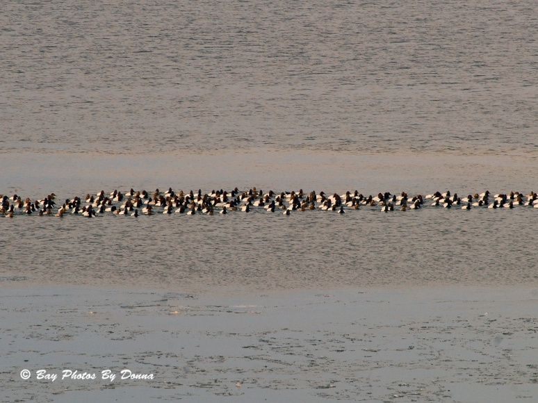 Raft of Canvasbacks