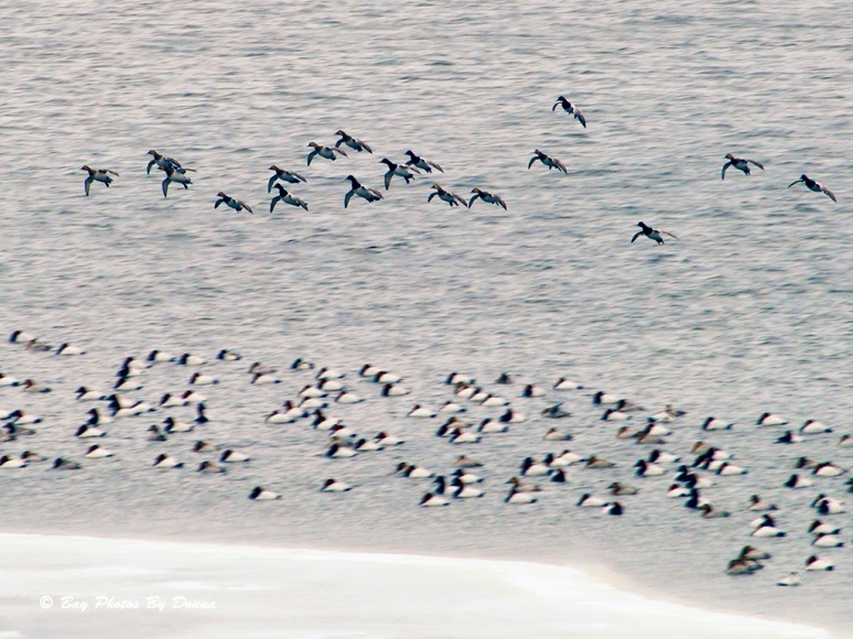 Canvasback males and females dropping into the raft