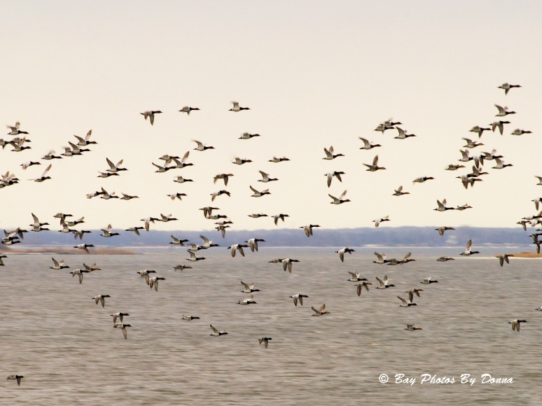 Canvasbacks in a frantic flight
