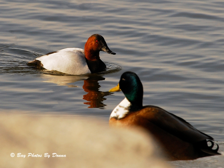 Male Canvasback and Male Duclair Mallard