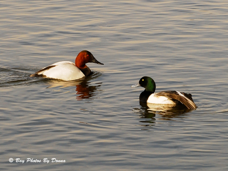 Male Greater Scaup giving the Canvasback the wing.