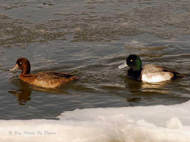 Male & Female Greater Scaup