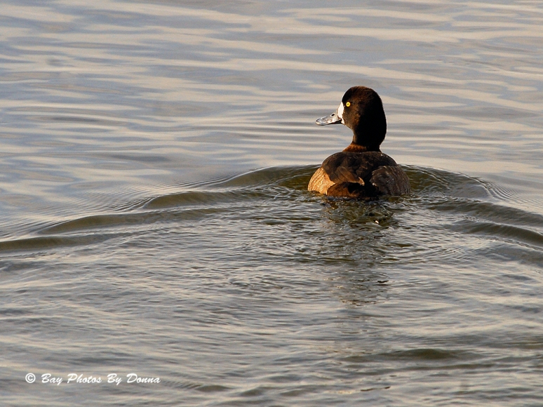 Female Greater Scaup