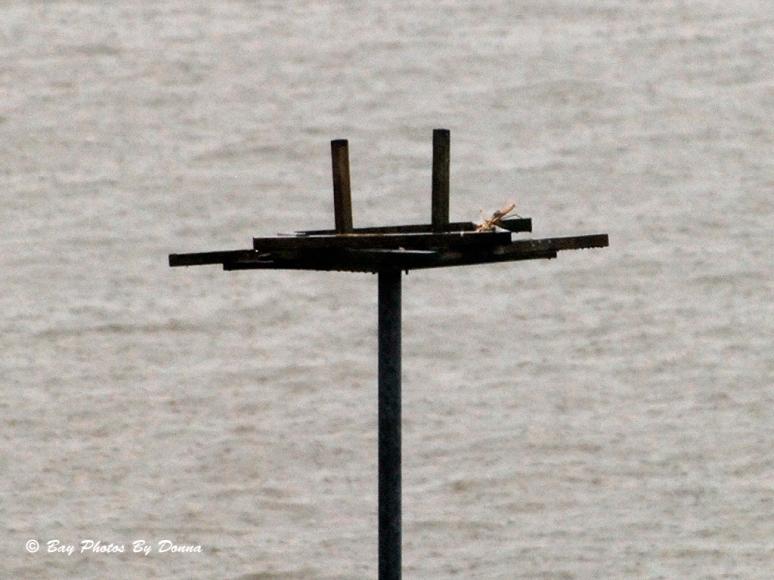 Oyster Cove Osprey Nest Platform - 3/29/14