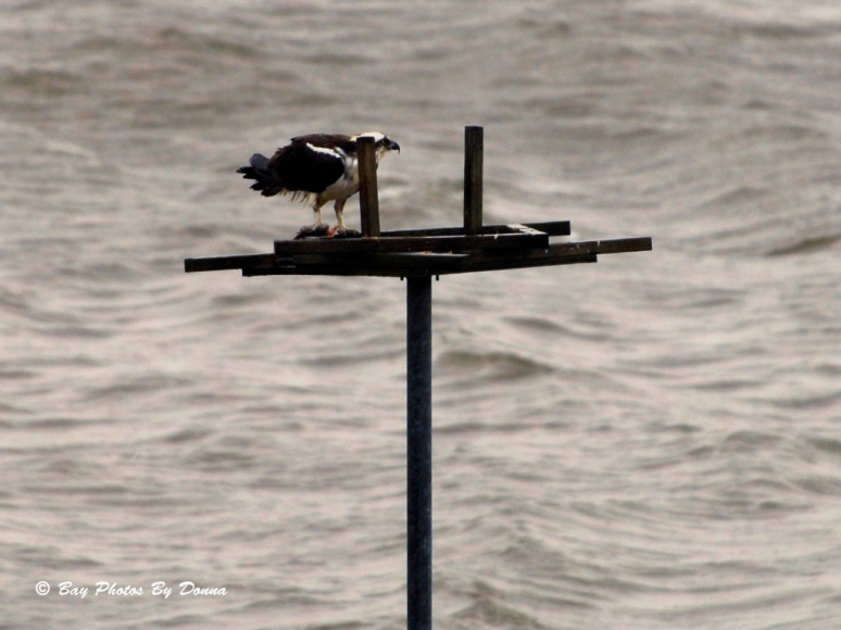 A wet male Osprey from KNCM #3 eating in the rain.