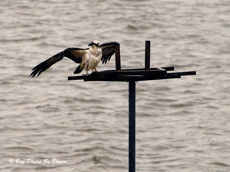 Male Osprey in a defense stance, protecting his food.
