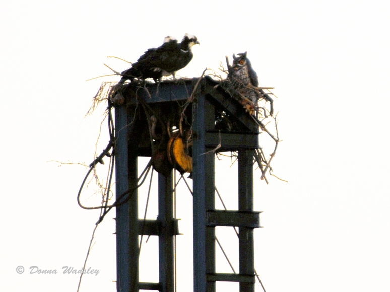 Osprey pair and their tenant, a fake owl