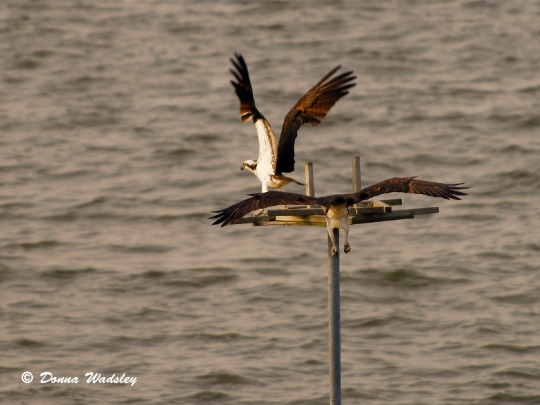 KN Channel Marker #3 Mr Osprey chasing off an 'intruder' on his perch!