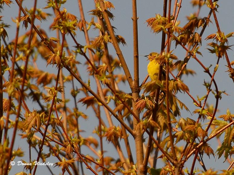 Yellow Warbler? (flight photo next)