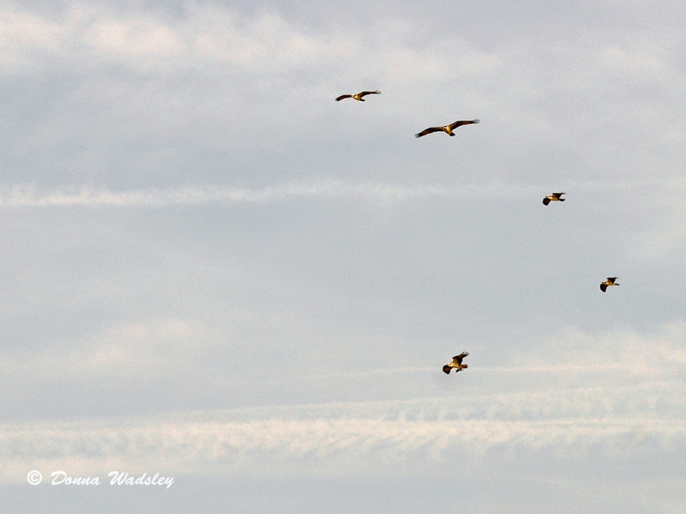 Five Osprey soaring on a windy day.