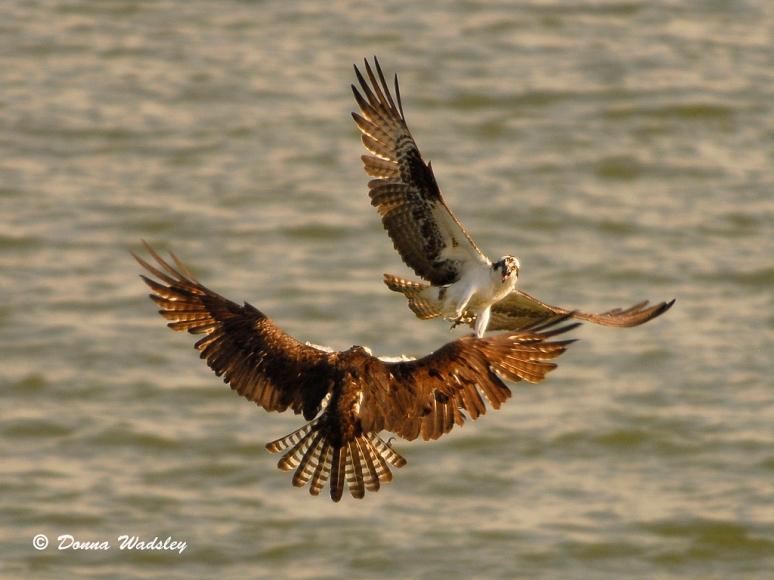 Our new female Osprey defending the platform against an intruding area Osprey.