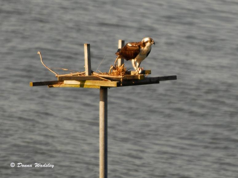 The female Osprey enjoying a meal.