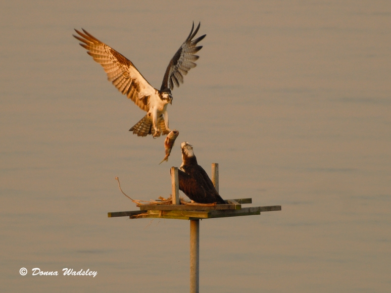 The male Osprey arriving with a fish.