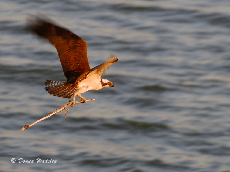 The male Osprey taking a stick to the platform.