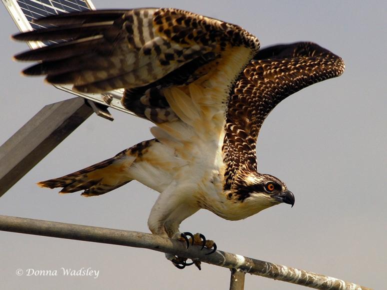 Juvenile Osprey