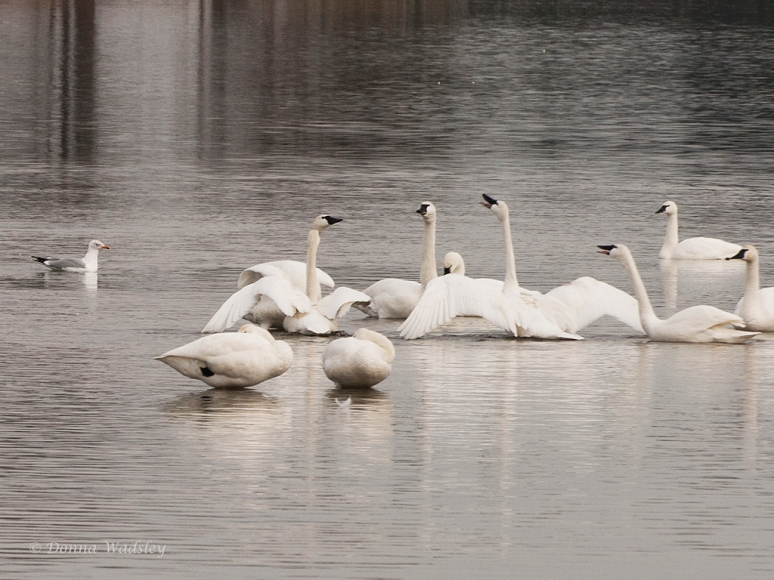Quite a few 'skirmishes' were going on amongst a few of the Tundra Swan.