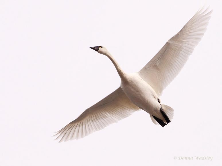 Tundra Swan overhead!