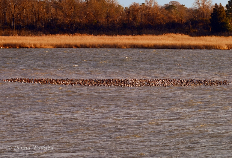 Canvasbacks grouping up as a team.