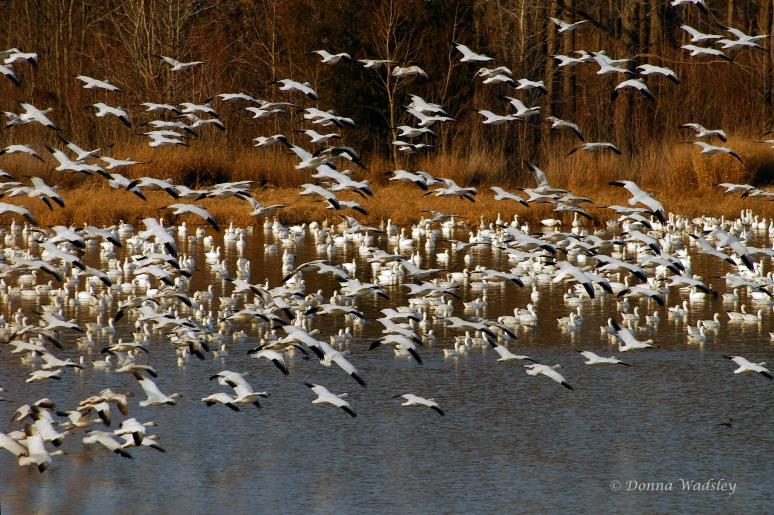 Incoming Snow Geese