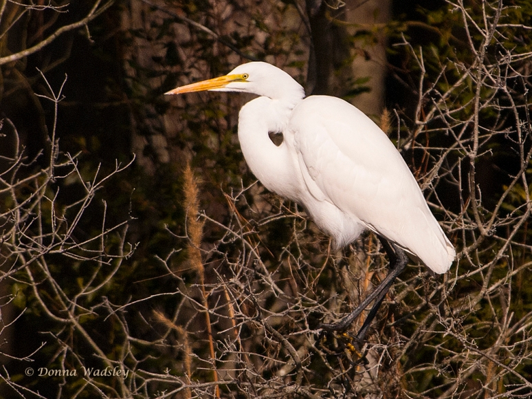 "Great Egret ""Heart"""
