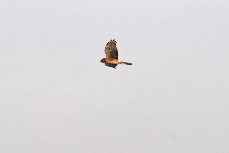 Northern Harrier flying over the salt marshes in search of dinner