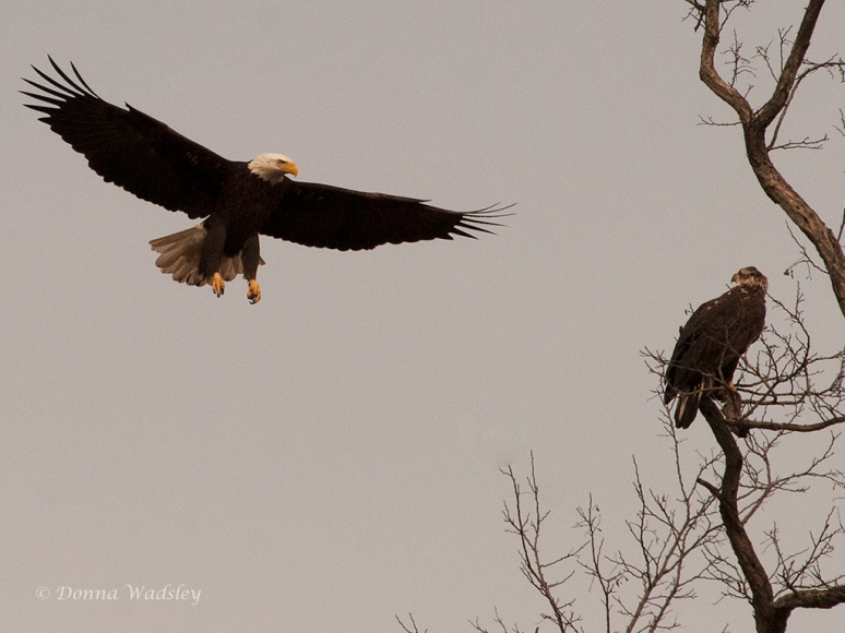 Adult and juvenile American Bald Eagles