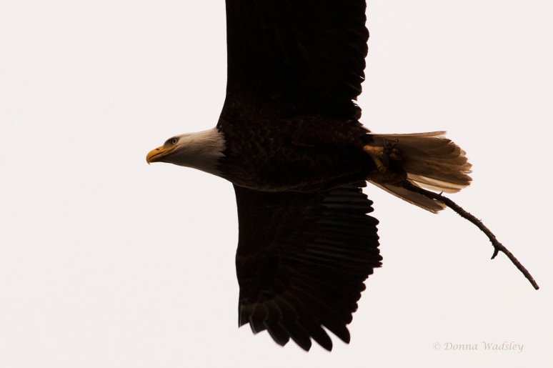 This American Bald Eagle was flying right above/pass me, I almost missed him.