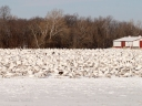 That's a lot of snow geese!