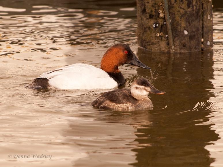 Female Ruddy Duck & Male Canvasback