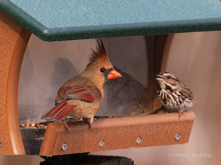 Female Northern Cardinal and Song Sparrow