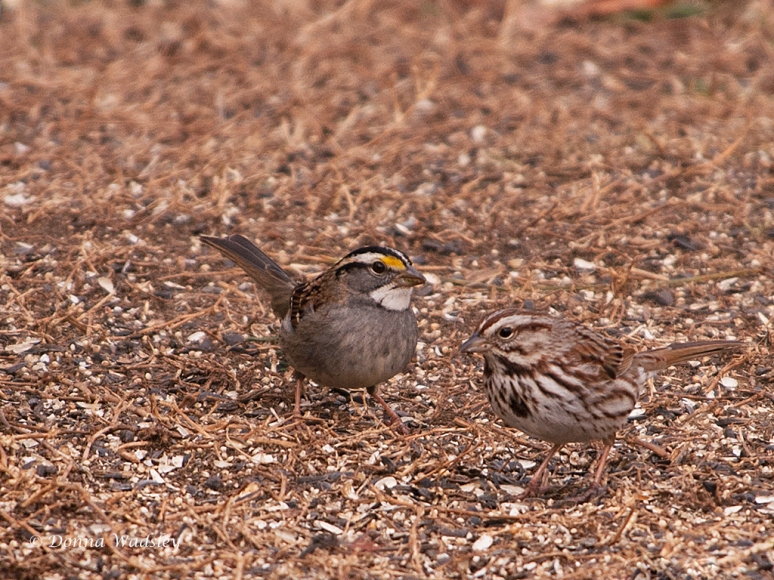 White-throated Sparrow and Song Sparrow