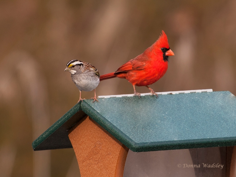 White-throated Sparrow and Northern Cardinal