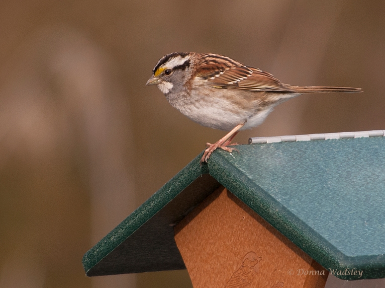 White-throated Sparrow - A New Lifer for Me