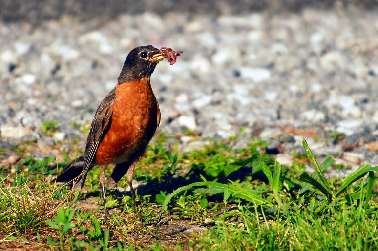 Momma American Robin with dinner