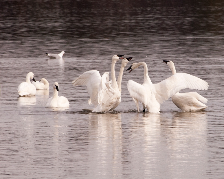 Nature - 2nd place - Tundra Swan Squabble