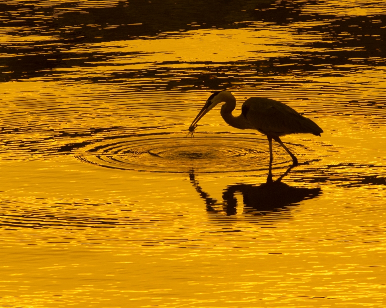 """Nature - 2nd Place - """"Golden Silhouette"""""""