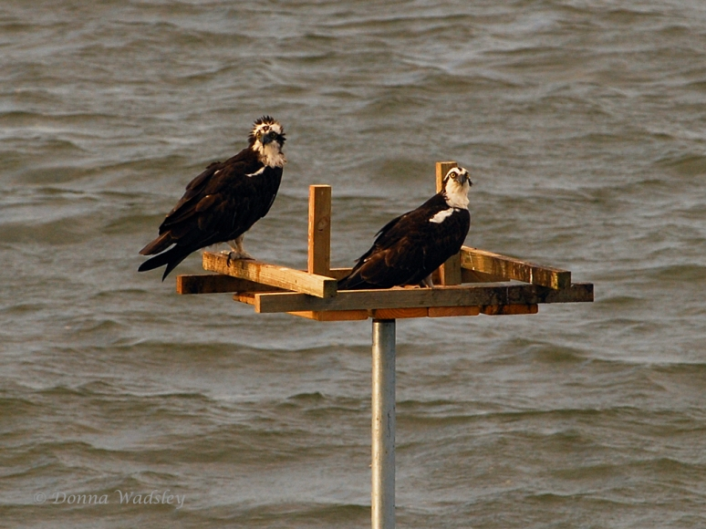 Marshy Creek/CBEC Osprey Couple