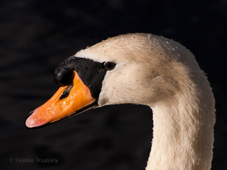 "First Place - Wildlife Color ""Mute Swan"""