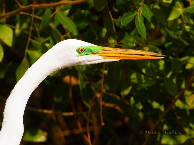 egret closeup 01