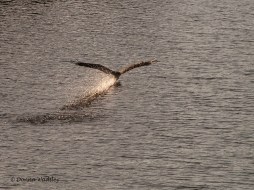Beau skimming before sunset.