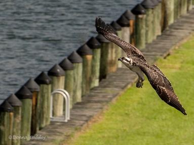 OspreyTeen in flight.