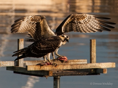 OspreyTeens trying to share nest platform while eating.