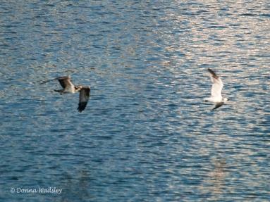 OspreyTeen chasing a gull.