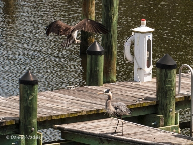 Great Blue Heron agitated by Bella's attack.