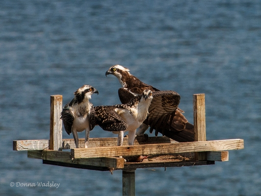As Mom Bella watches, the OspreyTeen begins to shift the fish around to share.